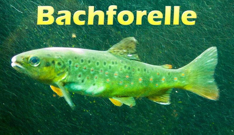 bachforelle-flossen-merkmal-bild