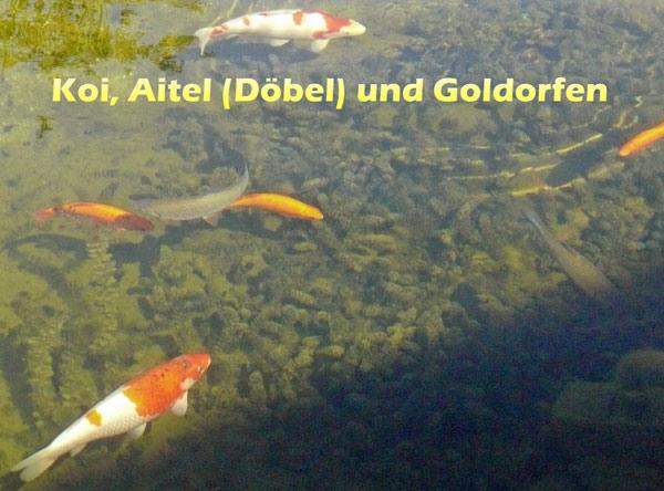 koi-aitel-doebel-goldorfen-im-teich