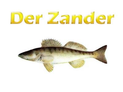 zander-merkmale-koerper