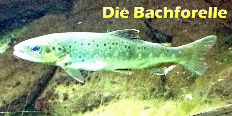 bachforelle-merkmale-fotos