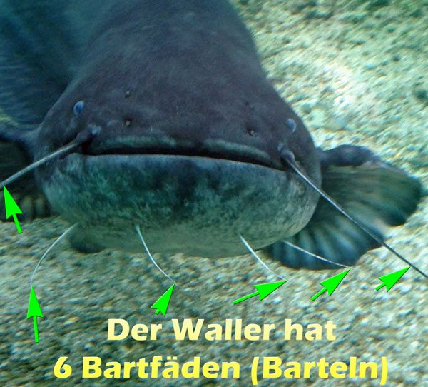 waller-mit-6-barteln-bartfaehden