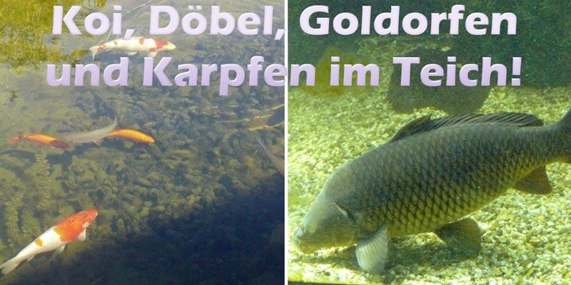 koi-doebel-goldorfen-karpfen-teich
