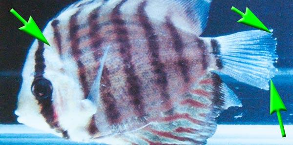 darmflagellaten-hexamita-spironucleus-protoopalina-trichomonas-cryptobia