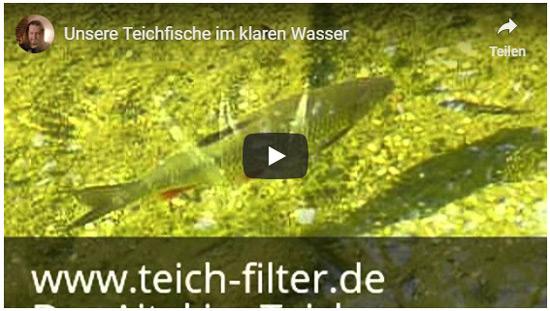 teichfische-im-klaren-wasser-video-1
