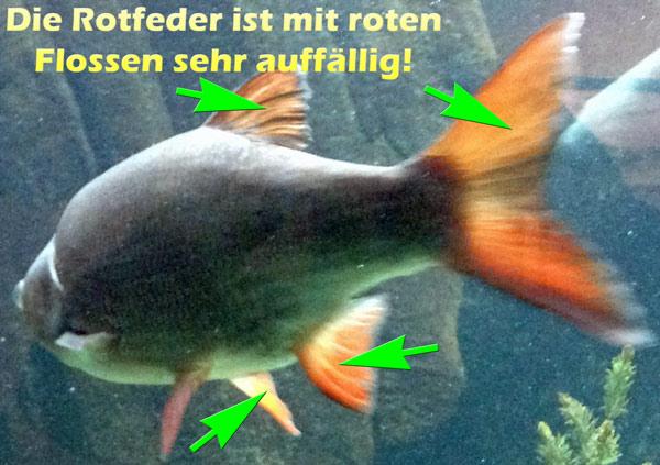 rotfeder-rote-flossen
