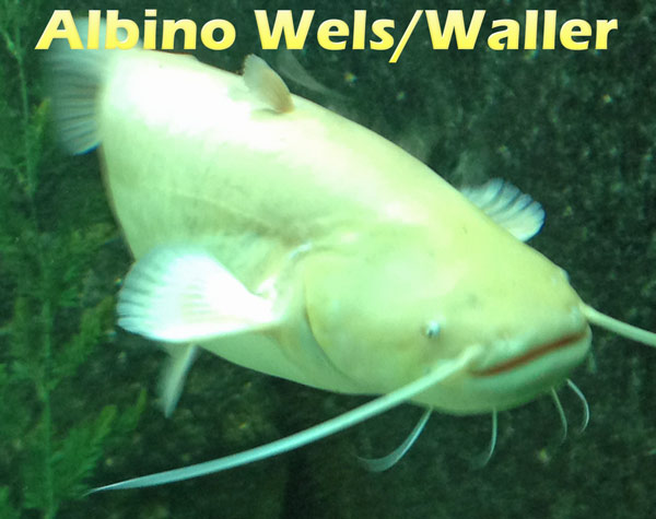 albino-wels-barteln-fotos
