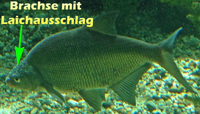 brachse-laichausschlag-foto