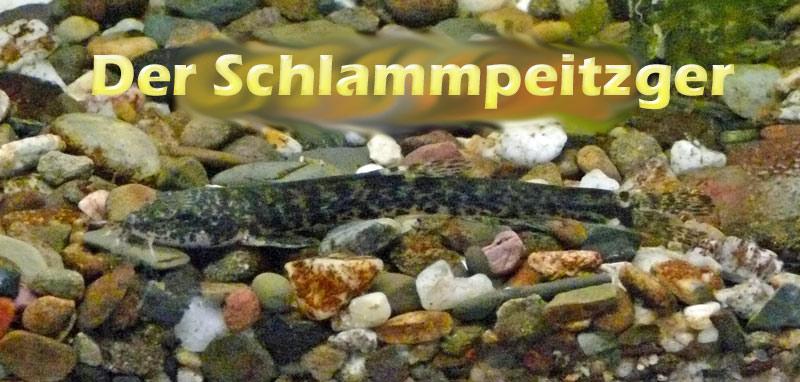 schlammpeitzger-merkmale-foto