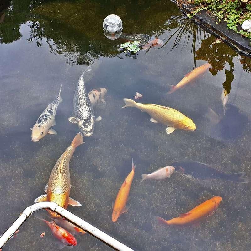 Erfahrungen mit teichfilteranlage aus 3 regentonnen am for Teich fische ohne filter