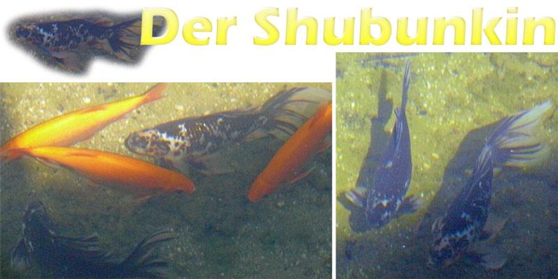 shubunkin-merkmale-fotos