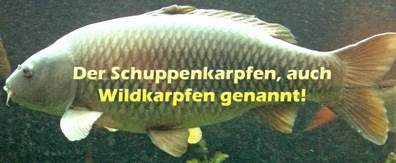 schuppenkarpfen-wildkarpfen-merkmale-bild