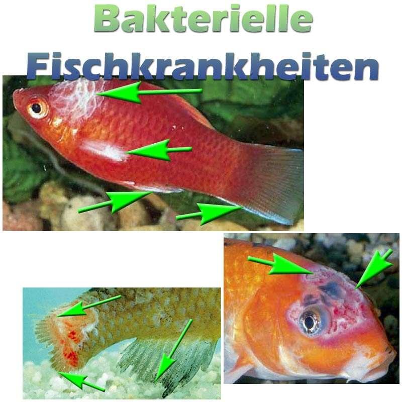 Bakterielle Fischkrankheiten Wie Flossenfäule Bauchwassersucht Und
