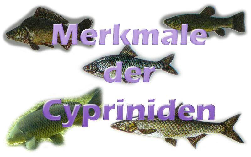 cypriniden-merkmale