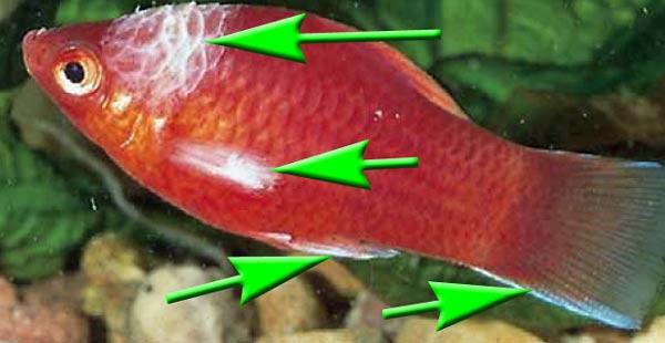 columnaris-fischkrankheit