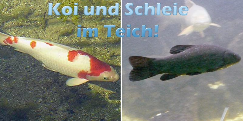koi-schleie-im-teich