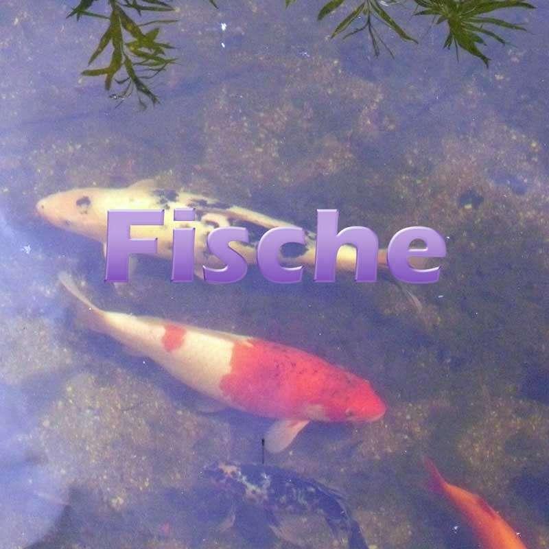 Fische im teich einsetzen und pflegen for Was brauchen fische im teich