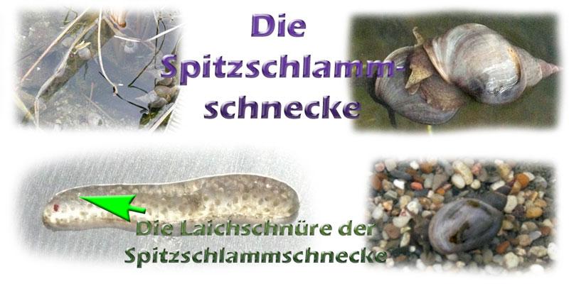 spitzschlammschnecke-fotos