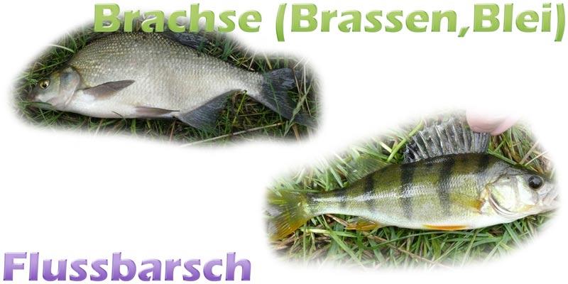 brachse-brassen-flussbarsch-teich