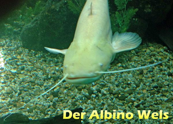 Atemberaubend Der Waller, Wels (silurus glanis) | Teichfilter #QP_79