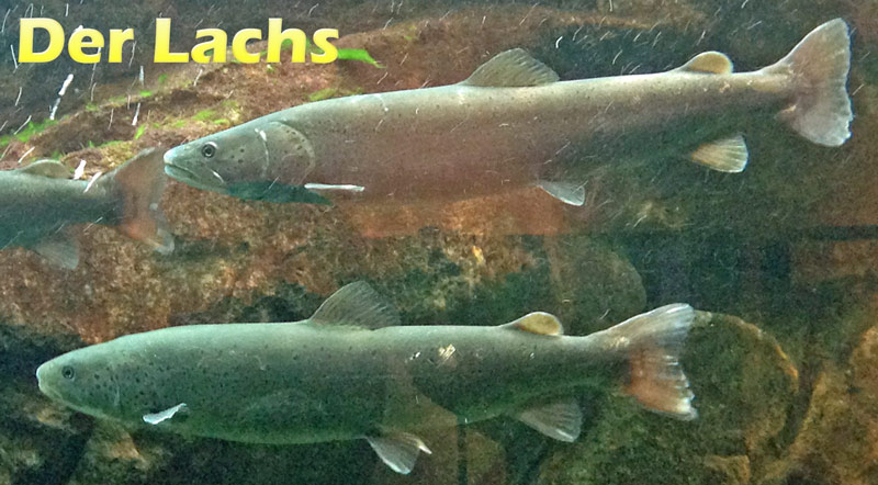 lachs-merkmale-fotos