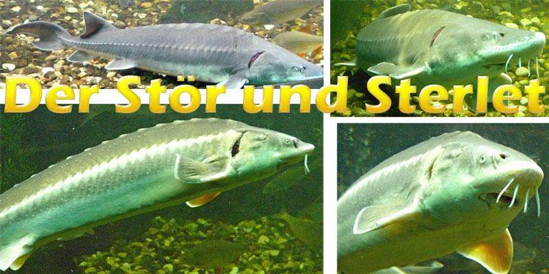 stoer-sterlet-fotos