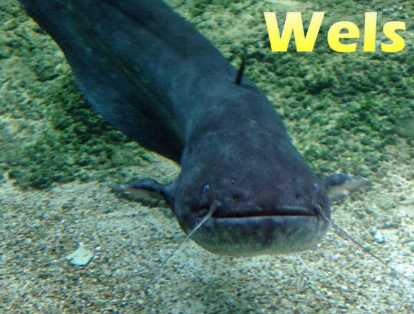 wels-im-aquarium