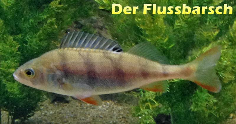 flussbarsch-merkmale-fotos