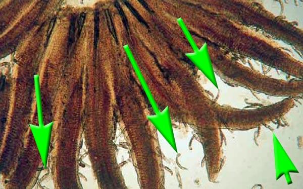 kiemenwuermer-dactylogyridea-dactylogyrus