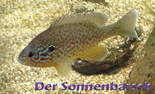 sonnenbarsch-merkmale-fotos