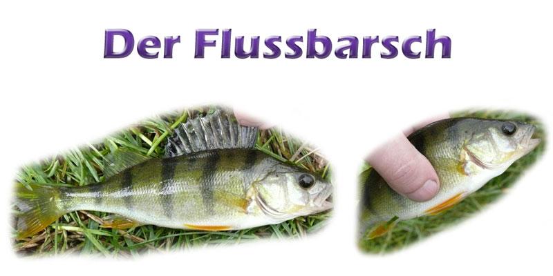 flussbarsch-fotos