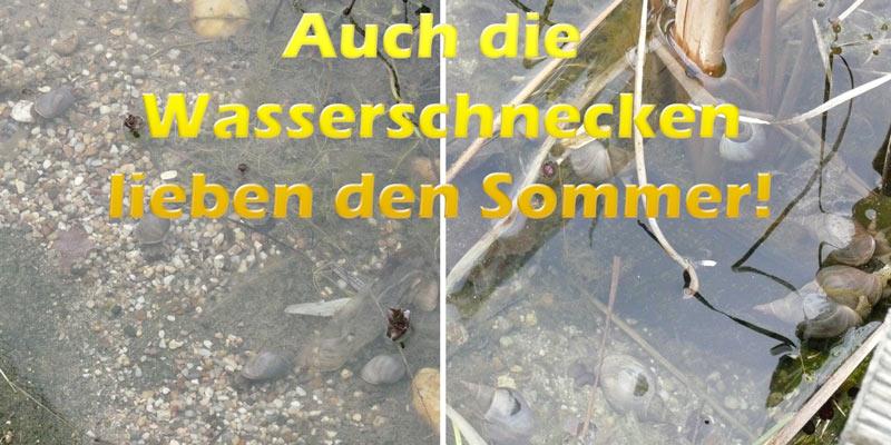 wasserschnecken-im-teich-sommer
