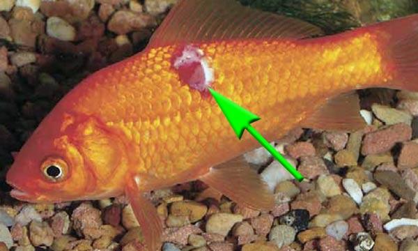 erythrodermatitis-geschwuer-fischkrankheit