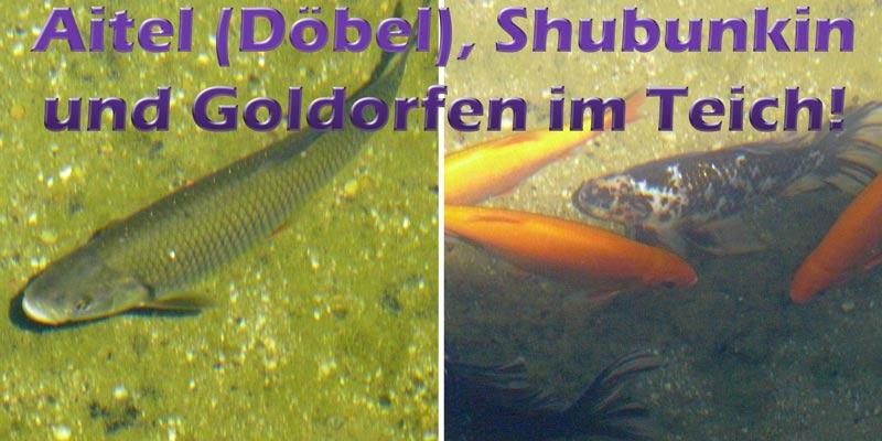 aitel-doebel-shubunkin-goldorfen-teich