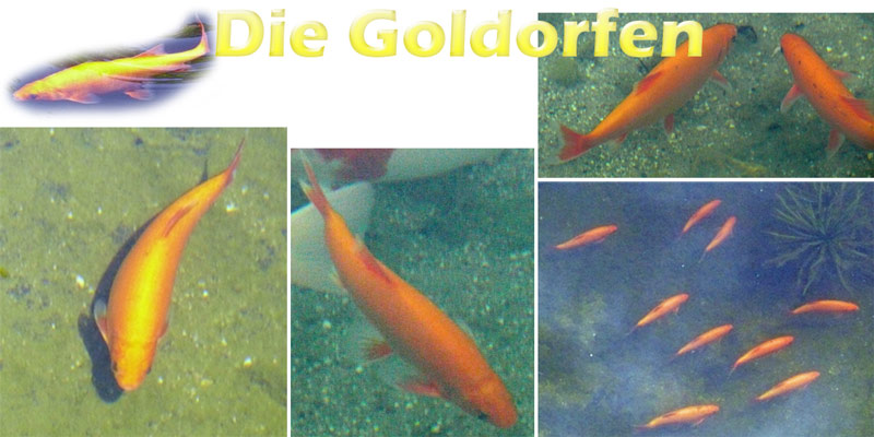 goldorfen-merkmale-fotos