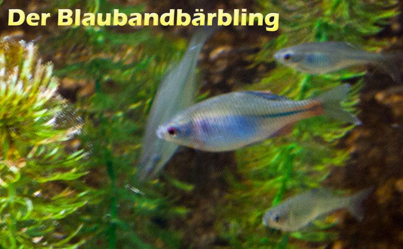 blaubandbaerbling-farbe-bild