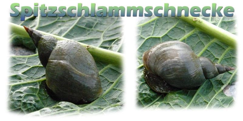 spitzschlammschnecke-teich