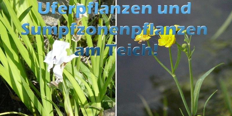 uferpflanzen-sumpfzonenpflanzen-teich