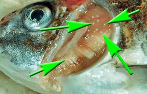 kiemenkrebse-ergasilus