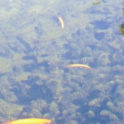 fische-im-teich-unter-wasser
