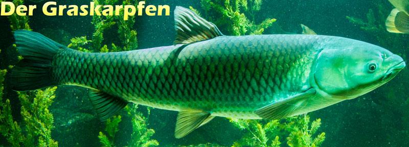 graskarpfen-seitenansicht-fischlexikon-foto